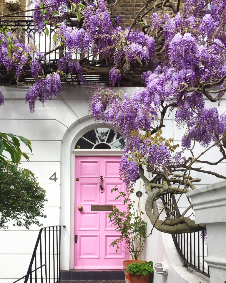 Pink wisteria Notting Hill